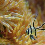 Pterapogon de Kaudern